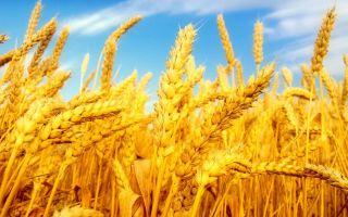 Можно ли употреблять пшеничную кашу при сахарном диабете 2 типа или нет, полезные свойства, противопоказания, химический состав и побочные эффекты