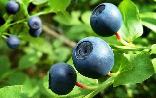 Показания к применению листьев и побегов черники при сахарном диабете, потенциальные побочные эффекты, действующие вещества и противопоказания